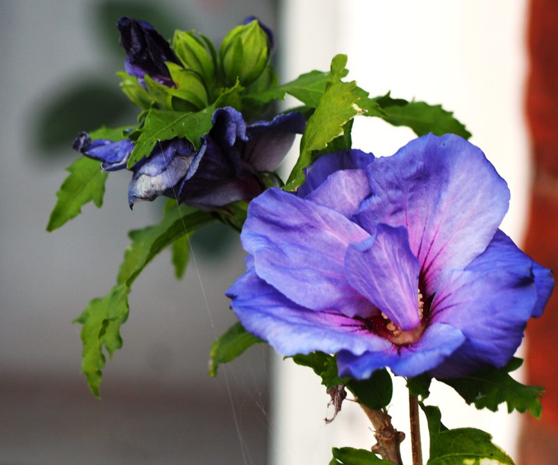 happy hibiscus blue bird earth laughs in flowers. Black Bedroom Furniture Sets. Home Design Ideas