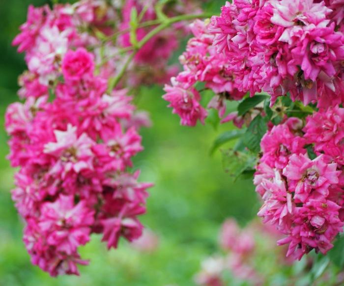 rose rosa earth laughs in flowers. Black Bedroom Furniture Sets. Home Design Ideas