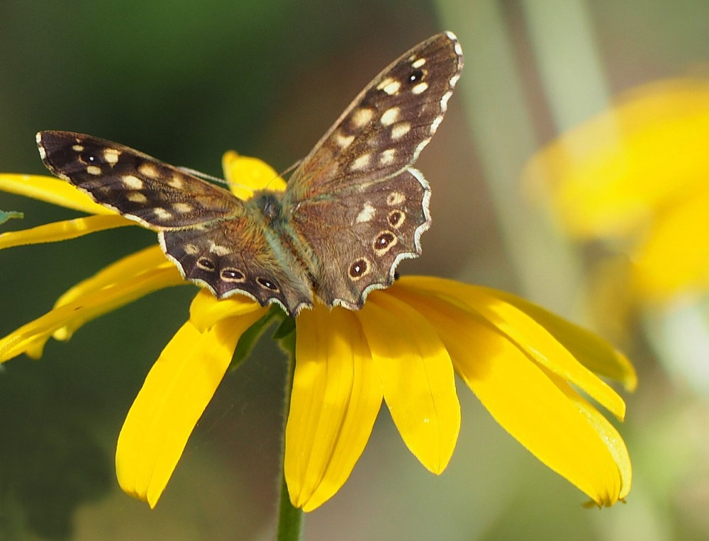 A male Speckled Wood basking on rudbeckia