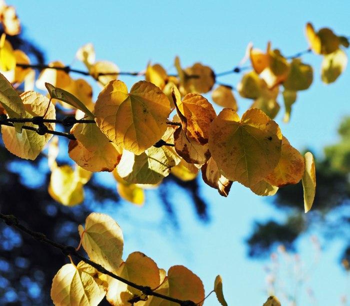 cercidiphyllum-japonicum