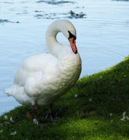 Mute Swan preening