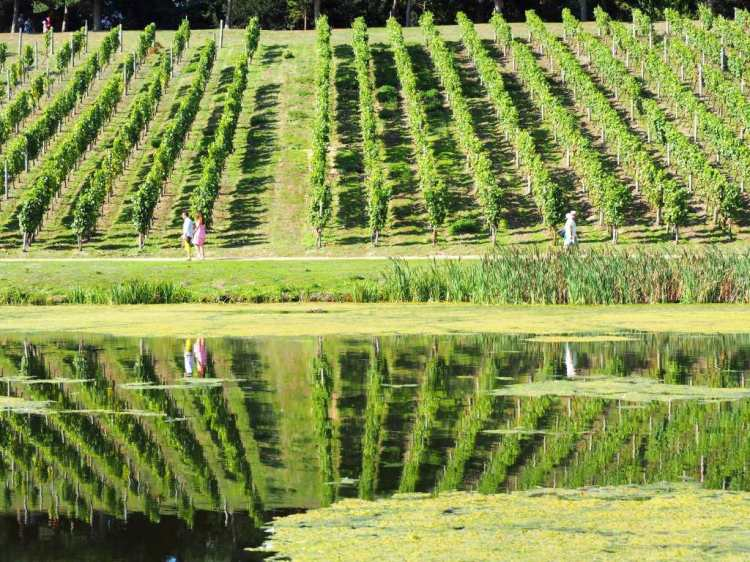 Vineyard reflection