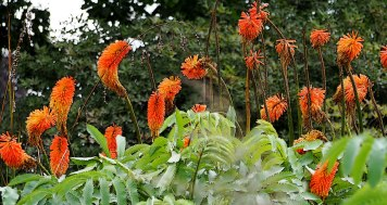 Red Hot Pokers (Kniphofia)