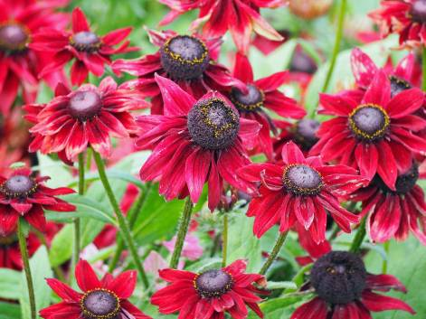 Helenium 'Red Jewel'