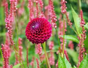 Pompom Dahlia among Persicaria