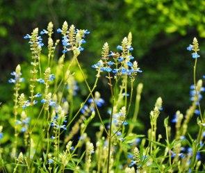 Sky-blue Salvia