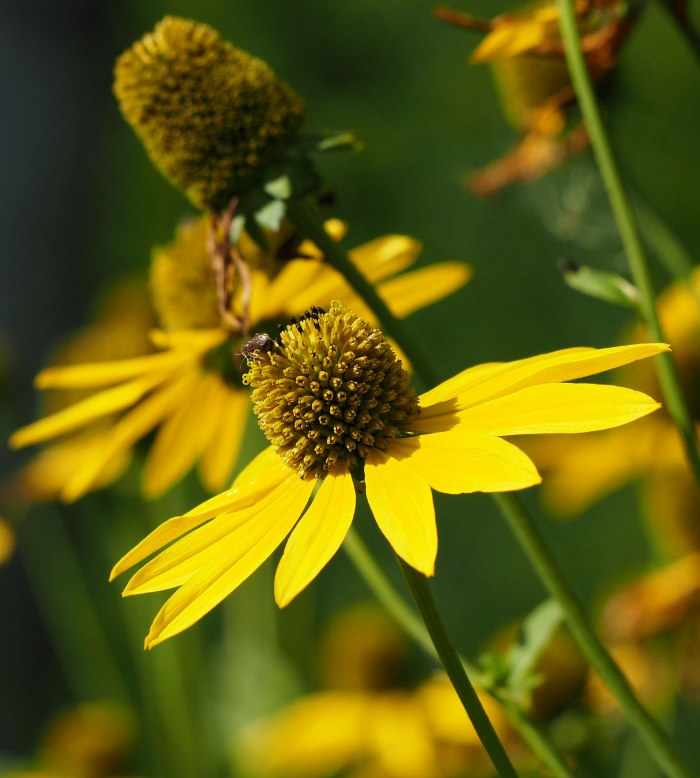 Rudbeckia (Cone flower)