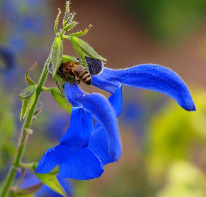 deep-blue-salvia