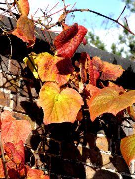 Vitis coignetiae crimson glory vine