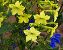 Lime Nicotiana with Gentian Sage