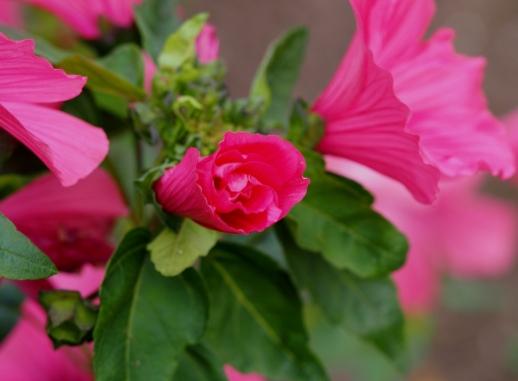 Lavatera Pink Beauty