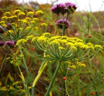 Fennel flowerheads