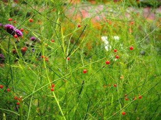 Asparagus berries