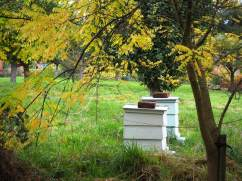 Bee hives in the orchard