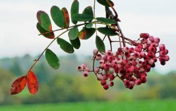 Sorbus hupehensis (pink)