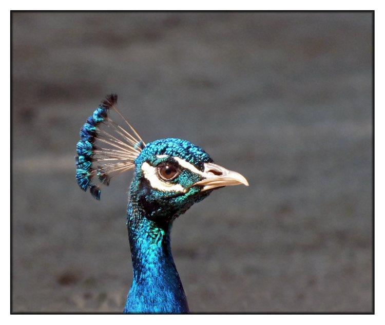peacock-in-cascais-(2)