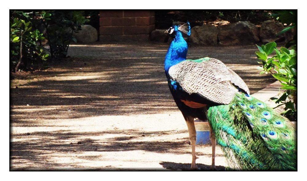 peacock-in-cascais-(6)