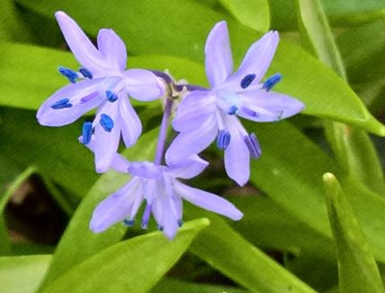 Scilla verna, commonly known as spring squill