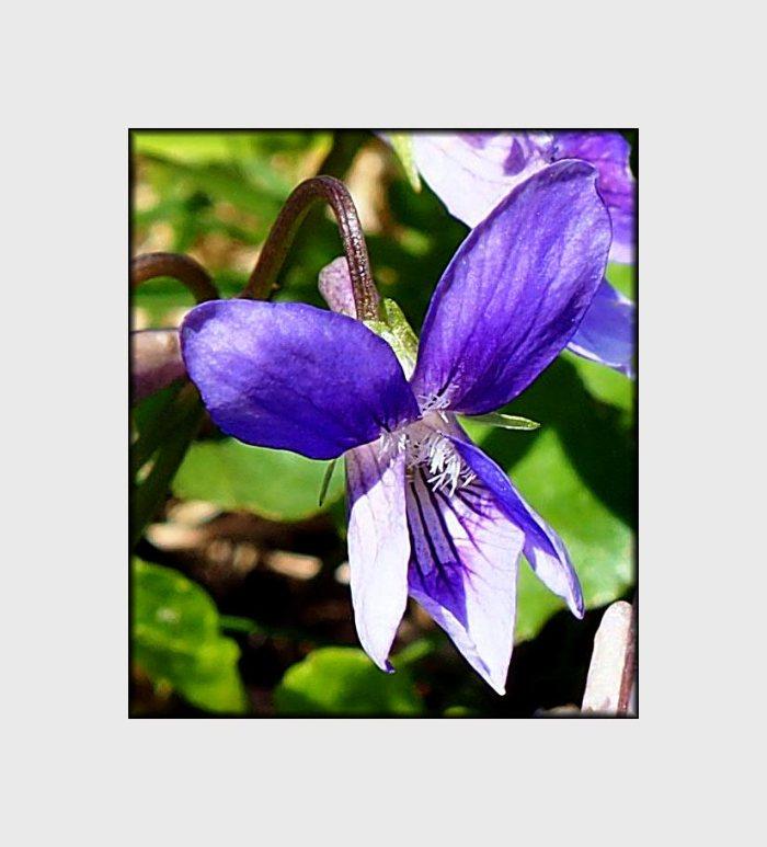 sweet-violet