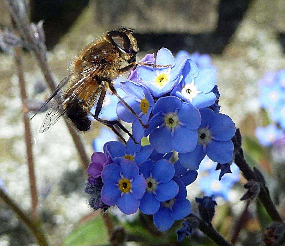 Cornish-black-bee-2