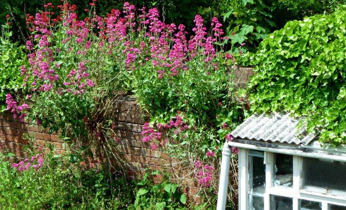 garden photography: redvalerian