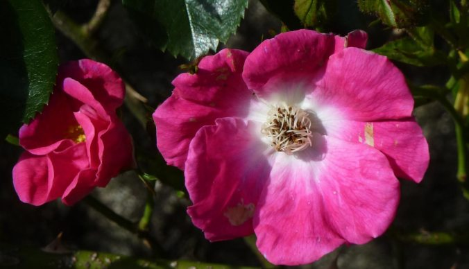 briar-rose-macro