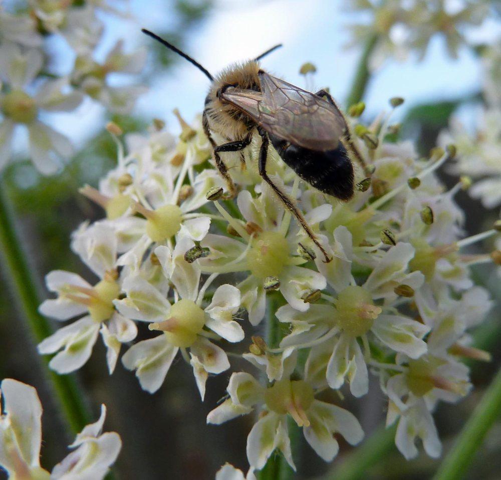 Cornish-black-bee-3