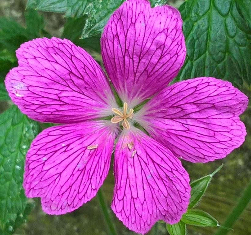 hardy geranium (2)