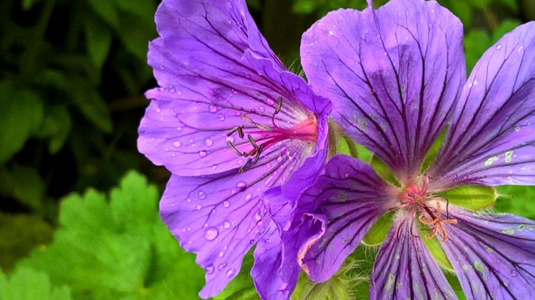 hardy geranium (3)