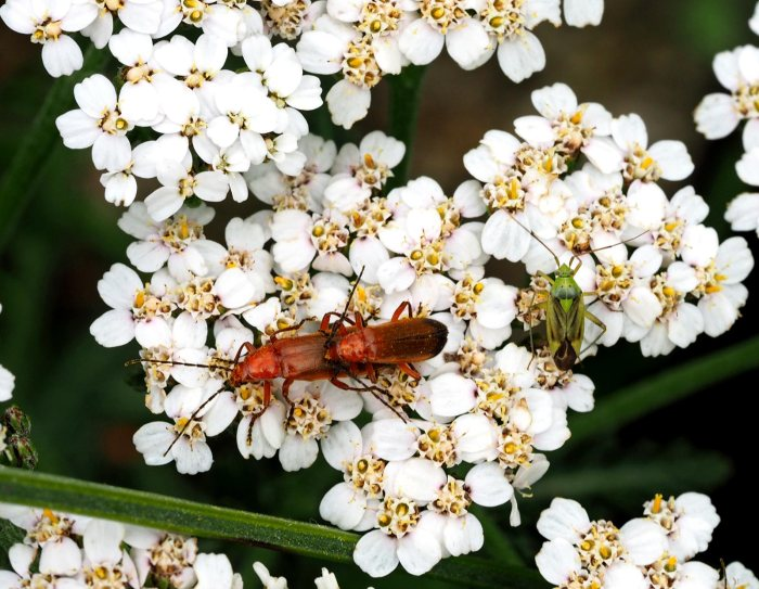 common-red-soldier-beetle-and-mate