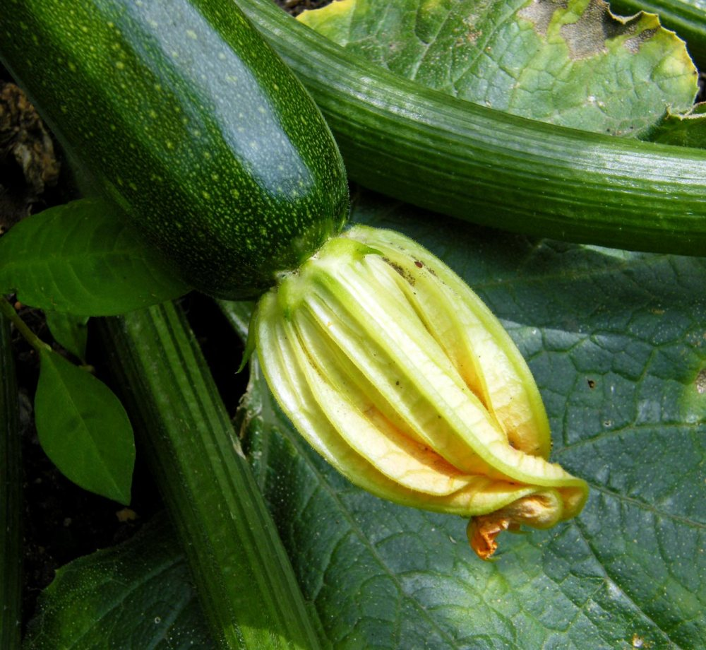courgette-(1)