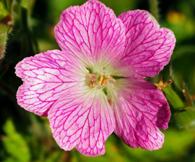 hardy-geranium