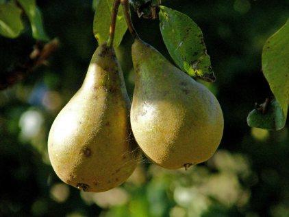 kent-pears-(1)
