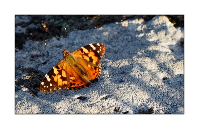 painted-lady-(1)