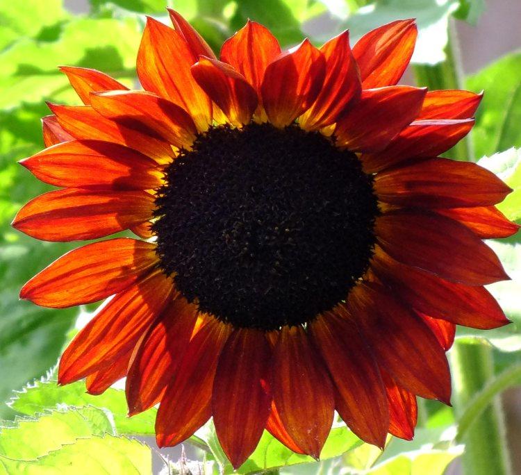sunflower-(2)
