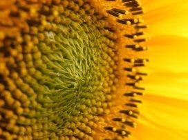 sunflower-(4)