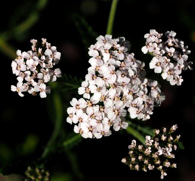 yarrow---Achillea-millefolium