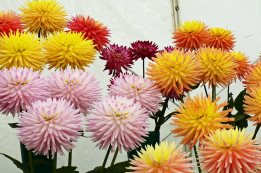 Display of Dahlias