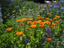 Marigolds and Borage