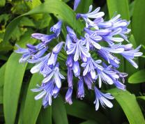 Agapanthus - African Blue Lily