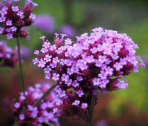 Verbena bonariensis - Vervain