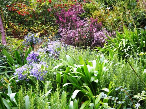 Agapanthus and heather