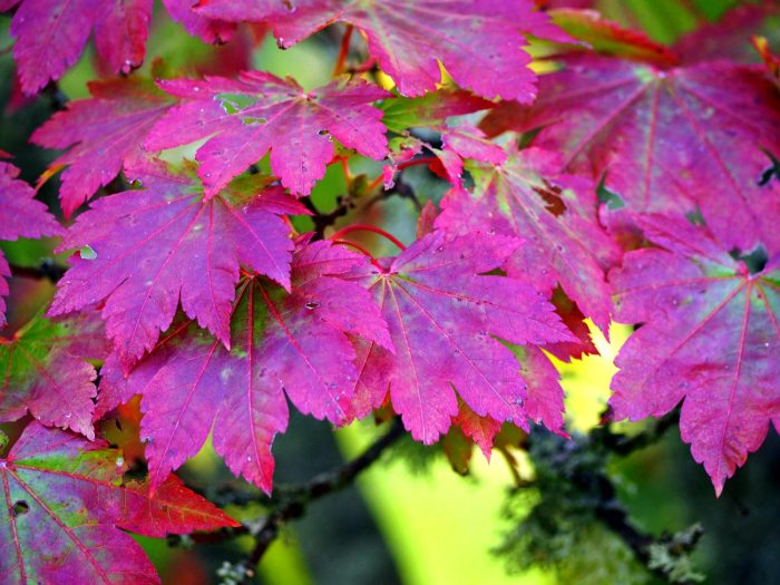 japanese-maples-2