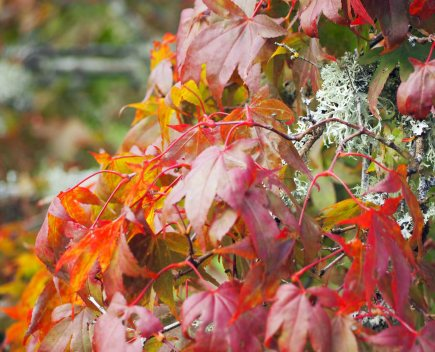 japanese-maples-4