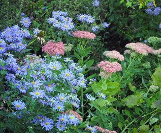 Asters and Sedum