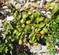 Espaliered pears