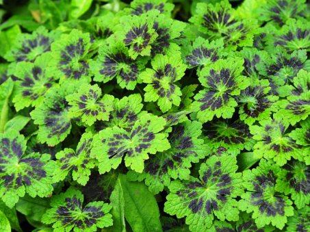 Geranium phaeum 'Samabor' not in flower