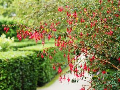 Fuchsia's drip over the pathways