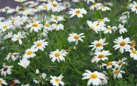 White Ox-eye daisies