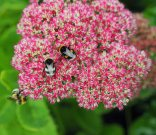 Sedum with bees